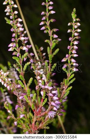 heather flowers - stock photo