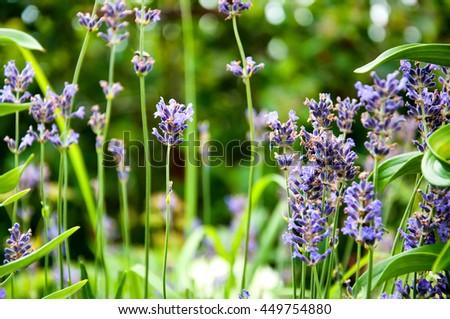 Heather flowers in garden. Selective focus - stock photo