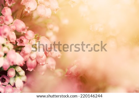 Heather flowers on a fall, autumn meadow in shining settng sun that gives warm mood. Vintage retro style, instagram look. Close-up, macro photography. - stock photo