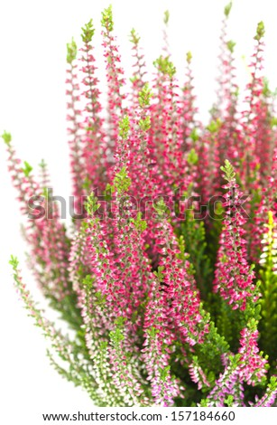 heather isolated on white background - stock photo