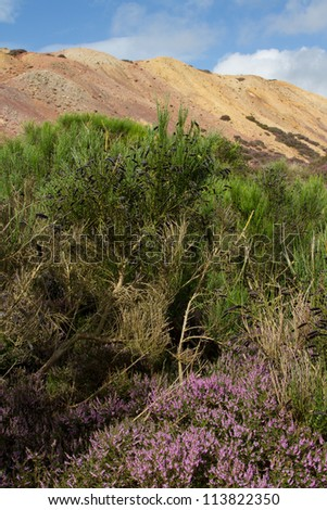 Heather leads to a Broom plant, Cytisus scoparius, with black seed pods with a mound of colored earth and blue sky in the background. - stock photo