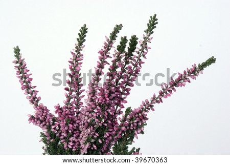 heather lila blooming - stock photo