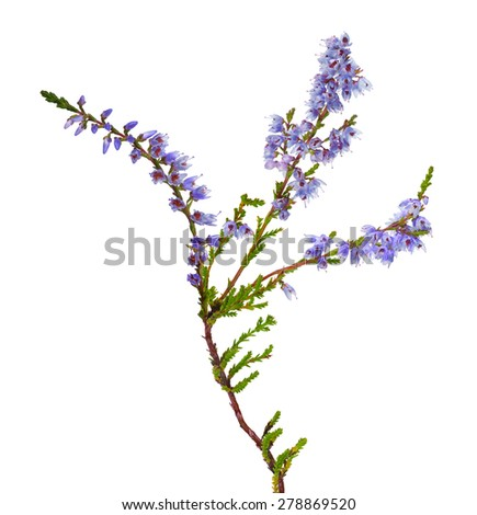 heather with light blue flowers isolated on white background - stock photo