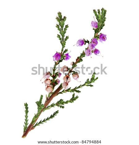 heather with purple flowers isolated on white background - stock photo