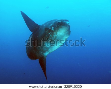 Heaviest bony fish in the world: the sunfish (Mola mola)