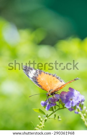 Hecale Longwing Butterfly [Heliconius hecale] - stock photo