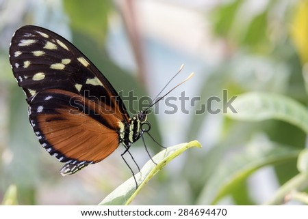 Hecale's Longwing butterfly on leaf, Hecale Longwing Butterfly. - stock photo