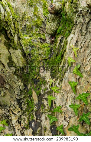 Hedera Helix and moss on tree trunk