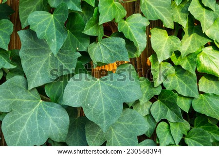 Hedera helix or common ivy - stock photo