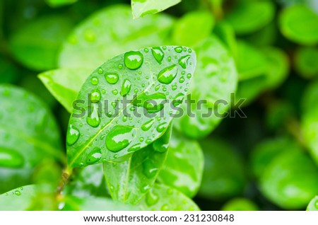 Hedge and water drops - stock photo
