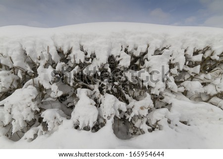Hedge covered in snow in winter - stock photo