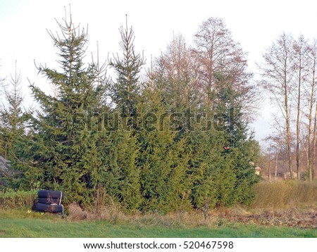 Hedge from high spruces or fir trees without trimming along the garden.