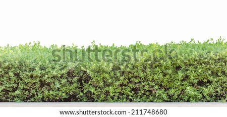 hedge or Green Leaves Wall isolated  - stock photo