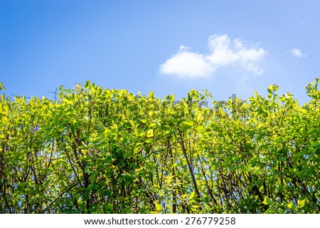 Hedge with green leaves and blue sky - stock photo