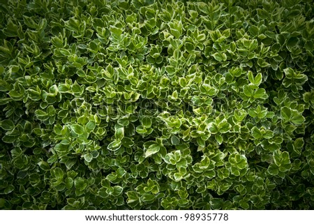 Hedge with green leaves close up