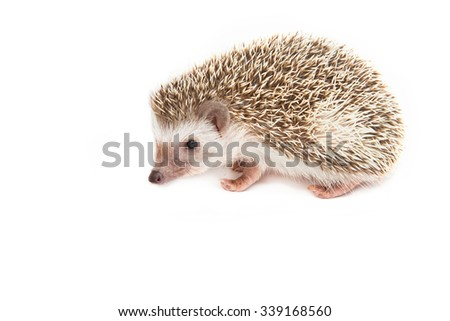 Hedgehog , African pygmy hedgehog on white background - stock photo