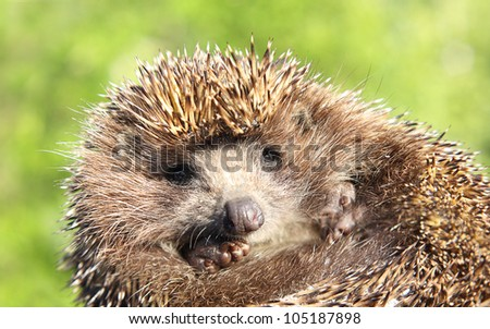 Hedgehog against natural background