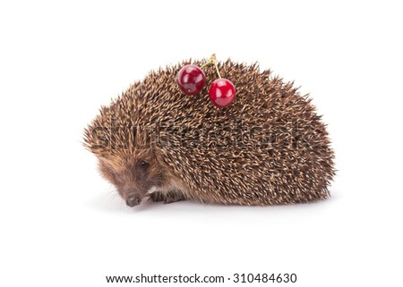 hedgehog and a sprig of cherry isolated on white background - stock photo