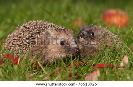 hedgehog and apple (erinaceus europaeus)