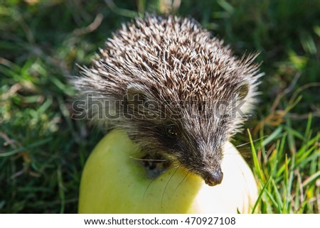 hedgehog and apple (erinaceus europaeus). Pretty little hedgehog sitting on a apple and eating fruit.