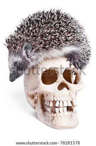 Hedgehog And Skull On White Background. - stock photo