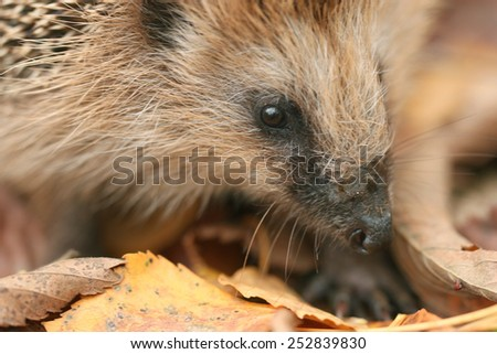 hedgehog autumn leaves forest - stock photo