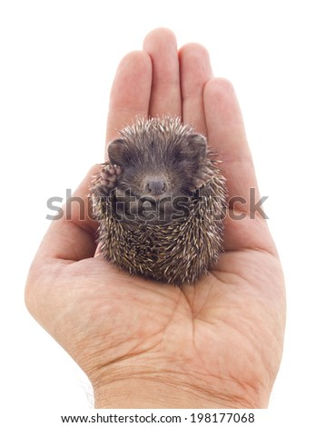 Hedgehog baby on palm isolated on white background - stock photo