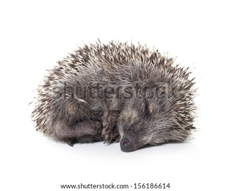 hedgehog baby sleeping on white background, hedgehog