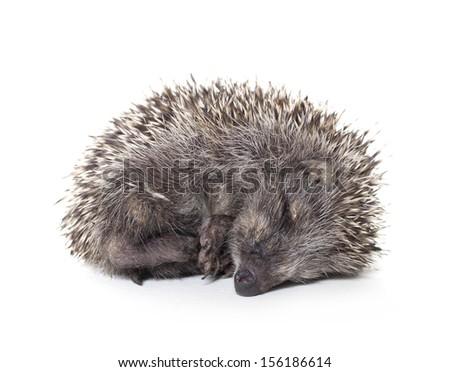 hedgehog baby sleeping on white background, hedgehog - stock photo