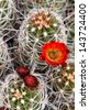 Hedgehog Cactus (Echinocereus engelmannii) - stock photo