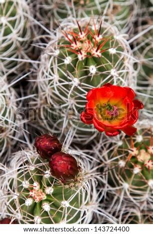 Hedgehog Cactus (Echinocereus engelmannii) - stock photo