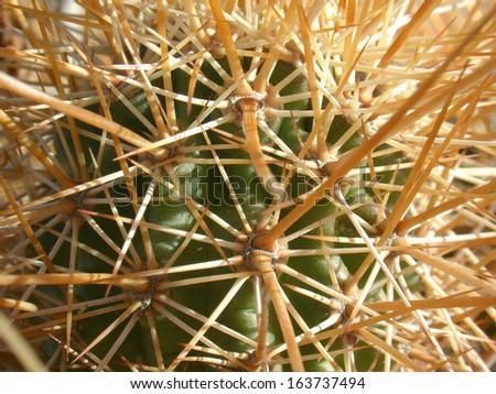 Hedgehog cactus with long needles - stock photo