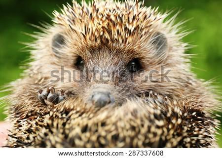 Hedgehog close up - stock photo