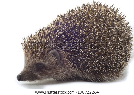 hedgehog close up on a white background - stock photo