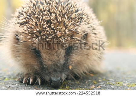 hedgehog close-up portrait - stock photo