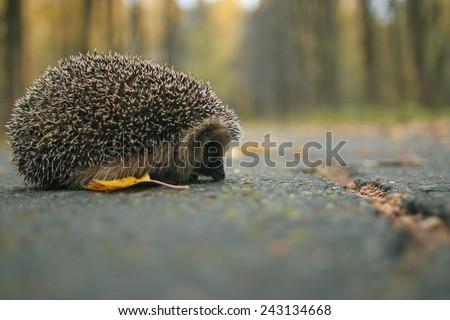 hedgehog close-up portrait - stock photo