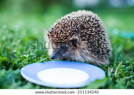 Hedgehog drinking milk from a plate. Close up. - stock photo