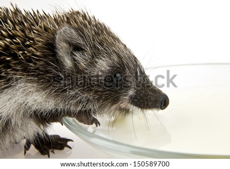 hedgehog drinking milk on a white background - stock photo