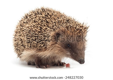 hedgehog eating a piece of meat isolated on white background - stock photo