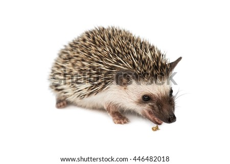 hedgehog eating isolated on white background