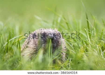 Hedgehog (Erinaceus europaeus) foraging in a meadow, lifts his nose and picks up a smell - stock photo