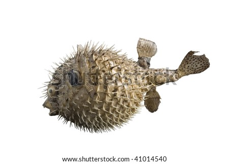 hedgehog fish isolated on white background