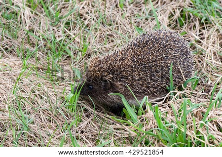 Hedgehog in a grass - stock photo