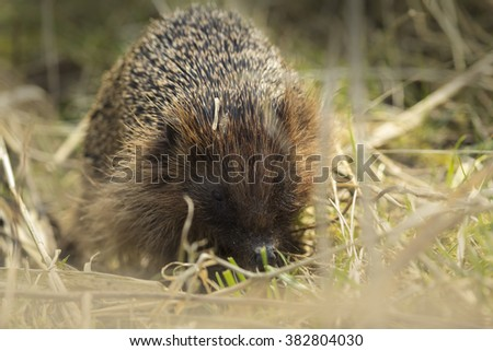 Hedgehog in a meadow in search for food in wintertime