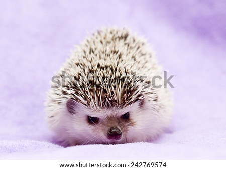 hedgehog in background - stock photo