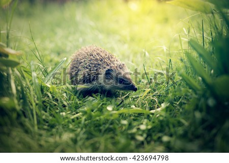 Hedgehog in grass - stock photo