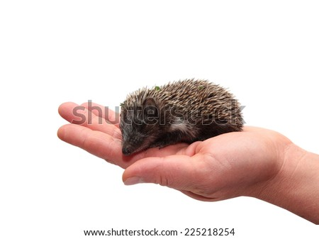 Hedgehog in hand on white background - stock photo