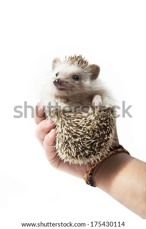 Hedgehog in Hands Isolated on White - stock photo
