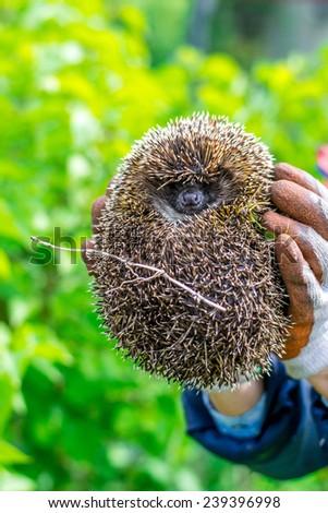 hedgehog in human hands - stock photo