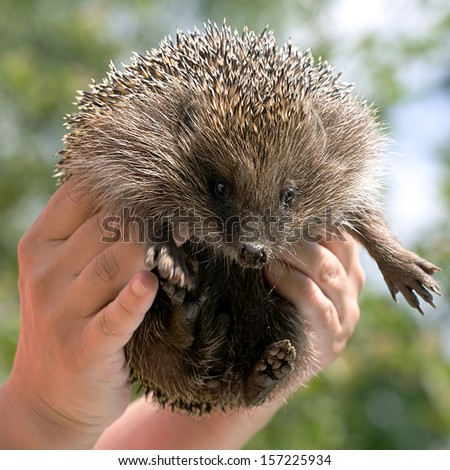 hedgehog in human hands looking at camera on nature outdoor background - stock photo